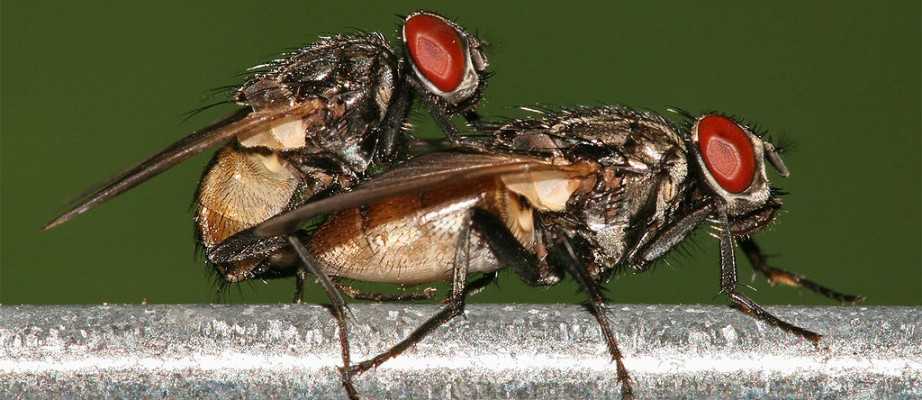 1024px-Housefly_mating